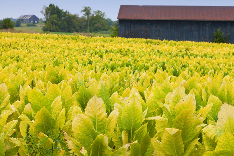 Download Tobacco farm stock image. Image of scenic, agriculture - 24616371