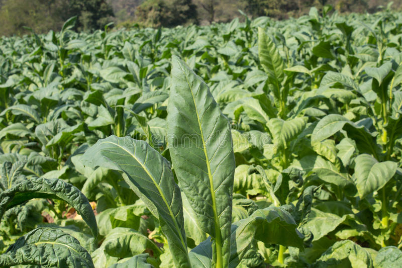 Download Tobacco Farm In Morning On Mountainside Stock Image - Image: 36721181