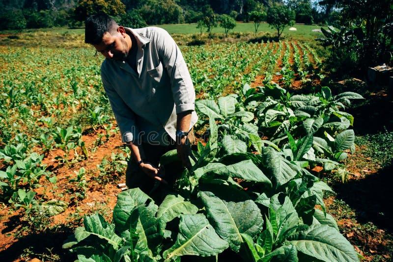 A tobacco farmer checks his leaves in Vinales, Cuba. A local tobacco farmer checks his leaves in Vinales, Cuba royalty free stock photos
