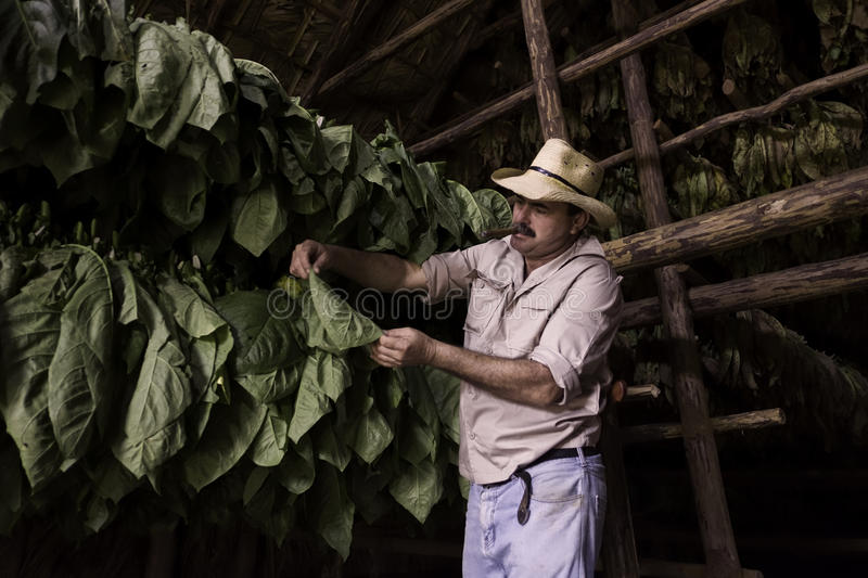 Tobacco Farmer, Vinales, Cuba royalty free stock image