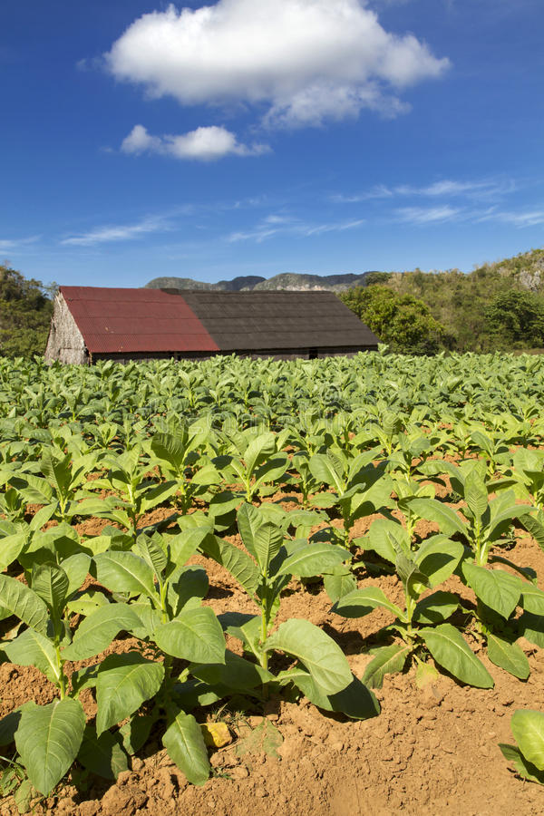 Free Tobacco Farming On Cuba Royalty Free Stock Images - 28709009