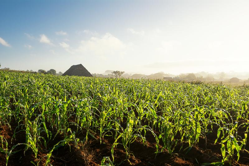 Tobacco field and drier in the Vinales Valley Cuba royalty free stock photo