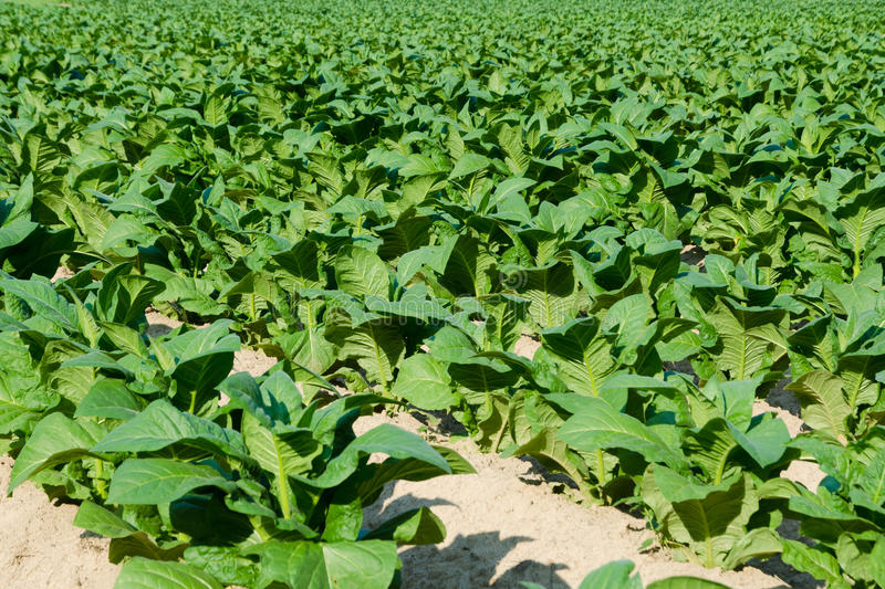 Download Tobacco field stock image. Image of soil, farming, harvest - 41699781