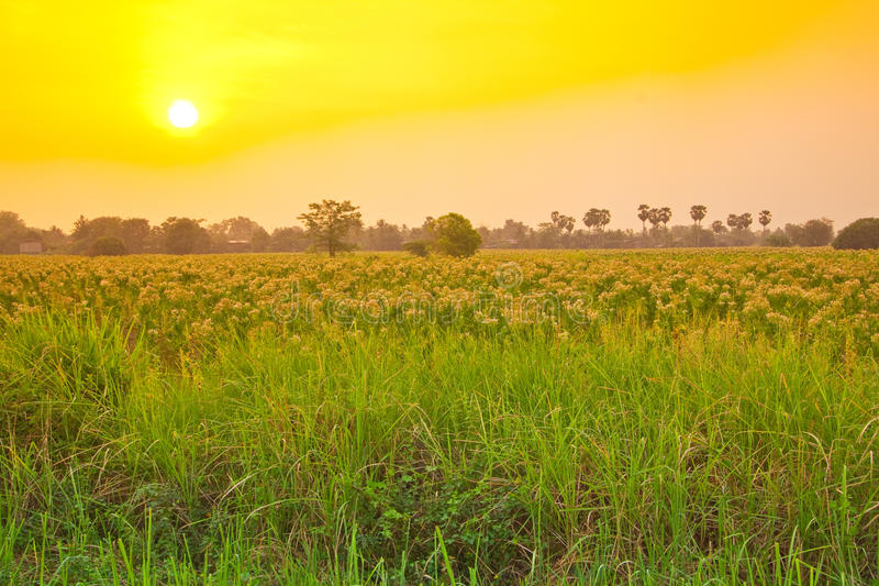 Download Tobacco Field On The Morning,Thailand Royalty Free Stock Images - Image: 24425729