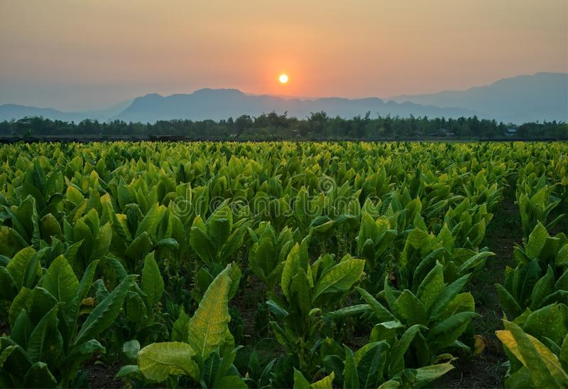 Tobacco field and mountain at sunset background : Thailand stock photography
