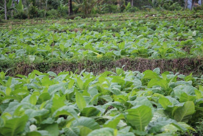 Tobacco fields in probolinggo, Indonesia. Tobacco fields in probolinggo, East Java, Indonesia royalty free stock photography