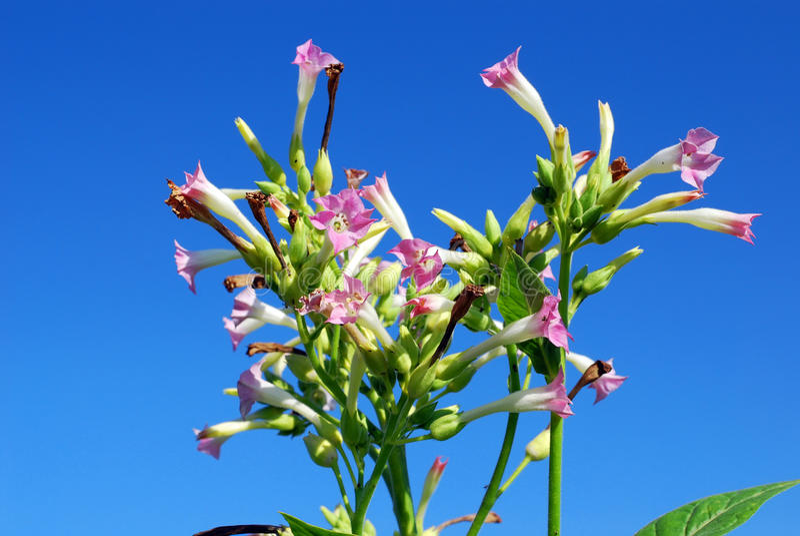 Tobacco flower stock photos