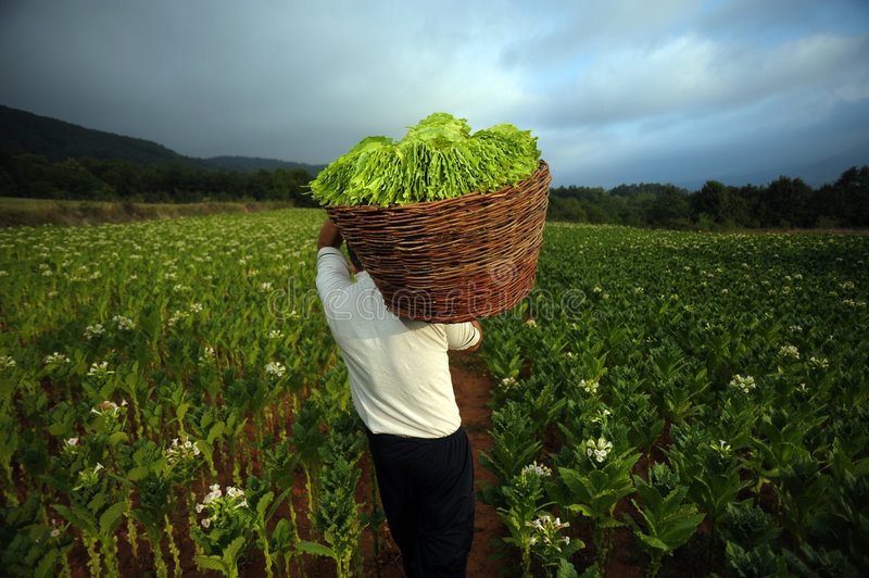 Tobacco Harvest 07 Stock Image