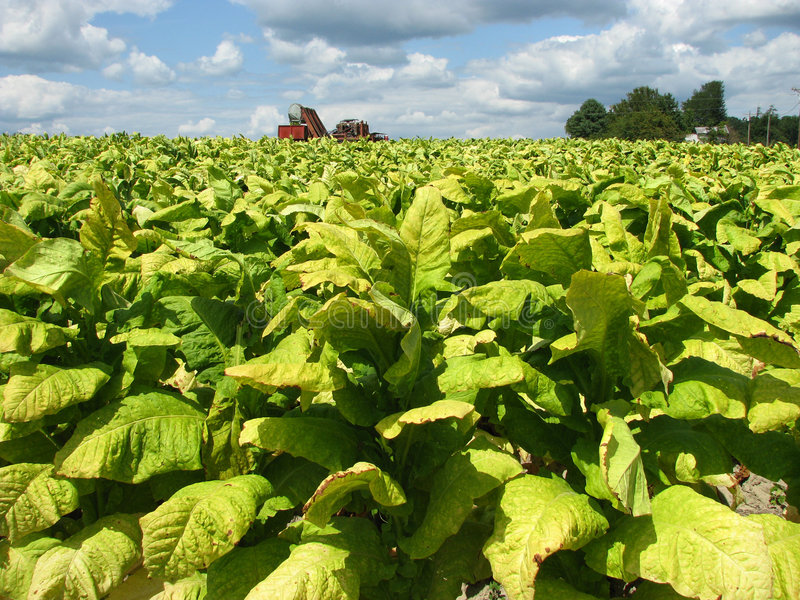 Tobacco Harvest Time royalty free stock photography