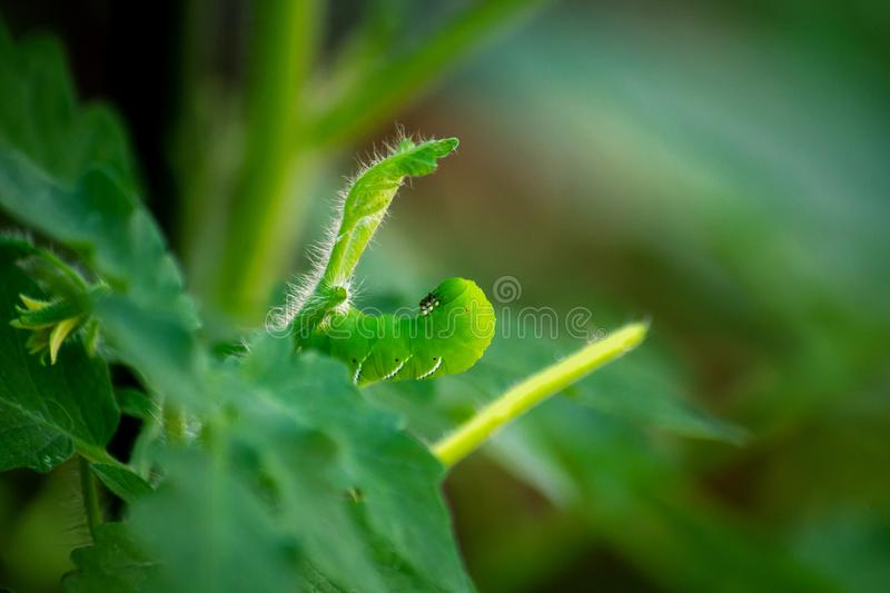 Tobacco Hornworm Hiding Sneakily in Tomato Plant. A sneaky Tobacco Hornworm hides, camoflauged in a young tomato plant.  The worm is eating the leaves and stock image