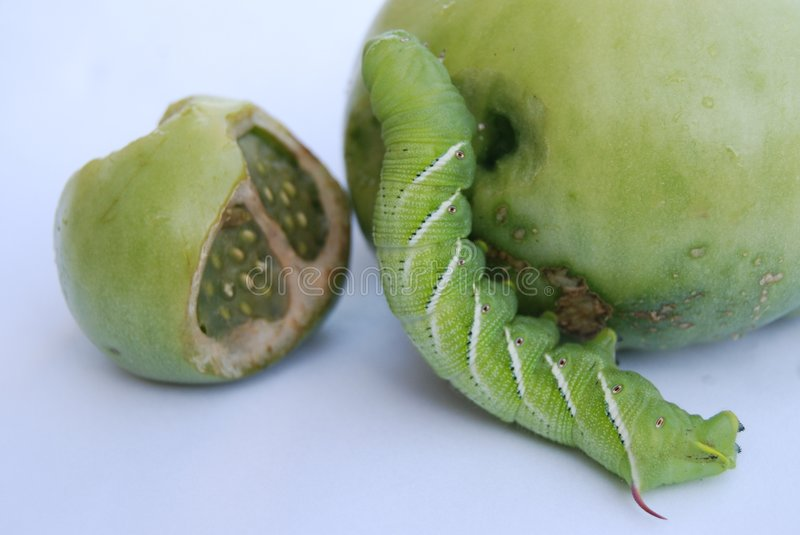 Tobacco hornworm larva. Eating away on green tomatoes stock photos