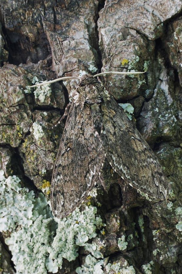 Free Tobacco Hornworn Moth Royalty Free Stock Photography - 1119157
