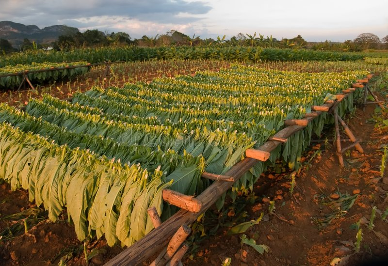 Download Tobacco leaved drying stock image. Image of farm, rack - 7770105