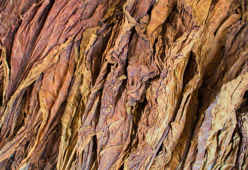 Tobacco leaves pile on eco shop display. Dried raw leaves of tobacco for handmade cigarettes. Aromatic leaf for smoking. Cigar raw material supply closeup royalty free stock images