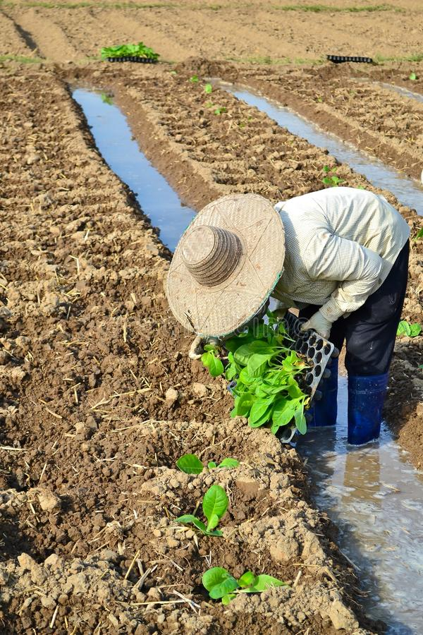 Download Tobacco Plant In Farm Of Thailand Editorial Photo - Image: 28479436