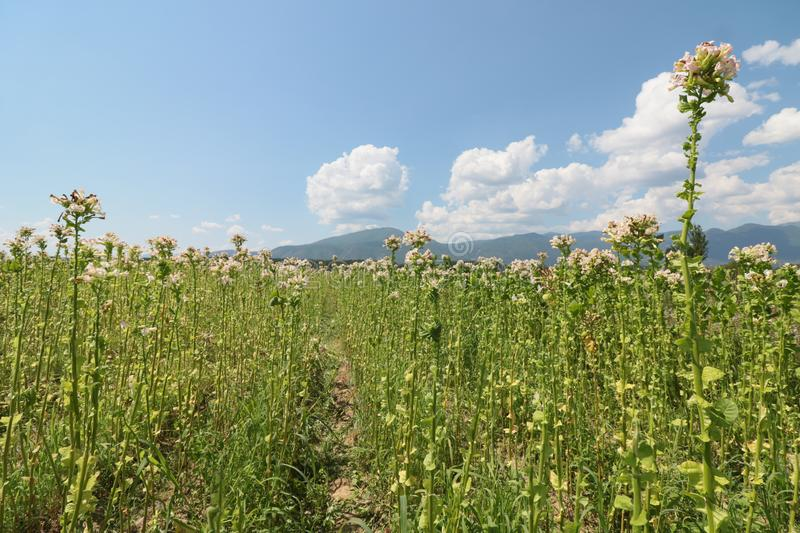 Tobacco plant with flower field. Blossoming tobacco. Plants in field over blue sky stock images