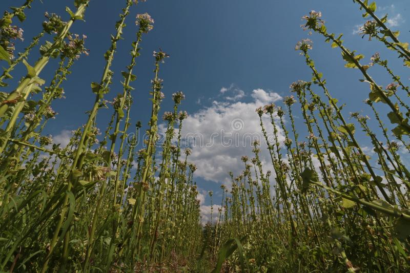 Tobacco plant with flower field. Blossoming tobacco. Plants in field over blue sky royalty free stock photography