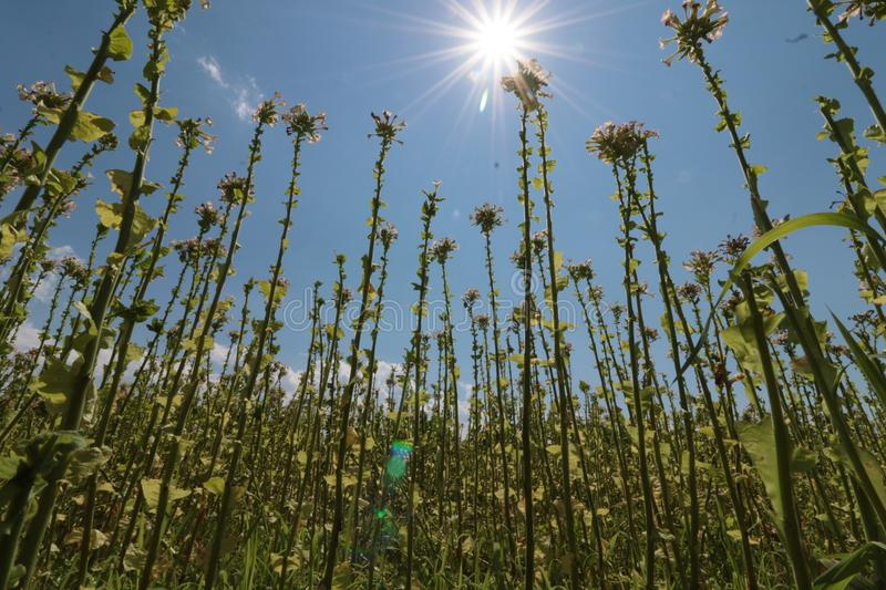 Tobacco plant with flower field. Blossoming tobacco. Plants in field over blue sky royalty free stock photo
