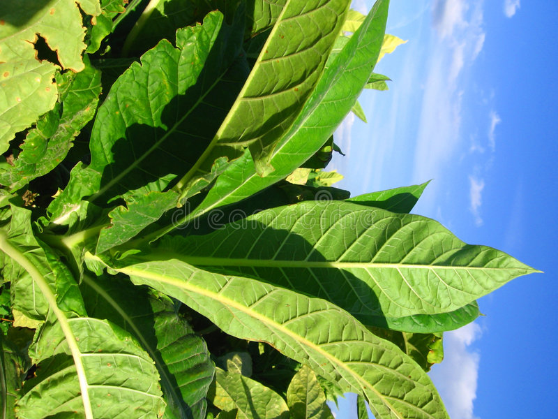 Tobacco plantation stock photography