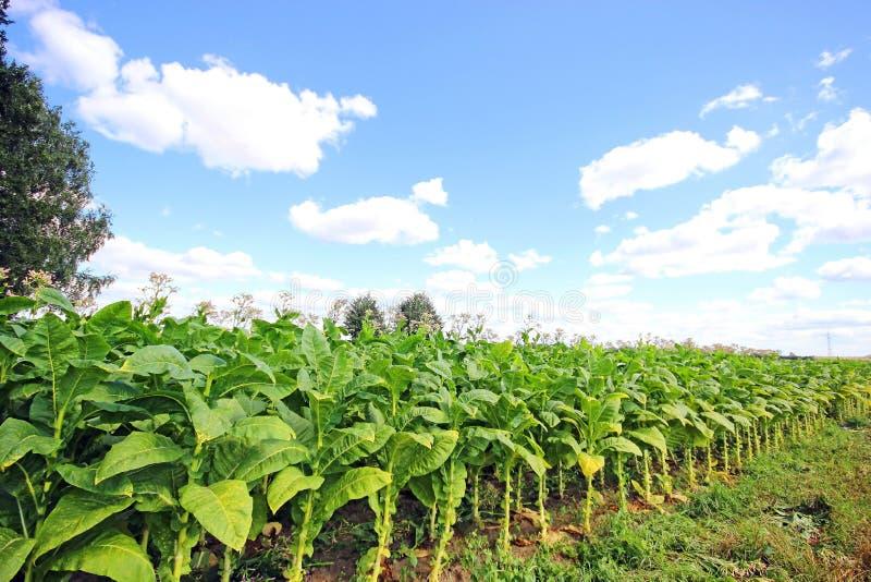 Download Tobacco Plantation Royalty Free Stock Photos - Image: 33195998