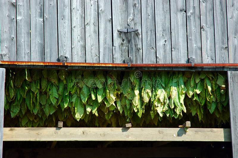 Download Tobacco Plants stock image. Image of drying, lumber, dries - 225993