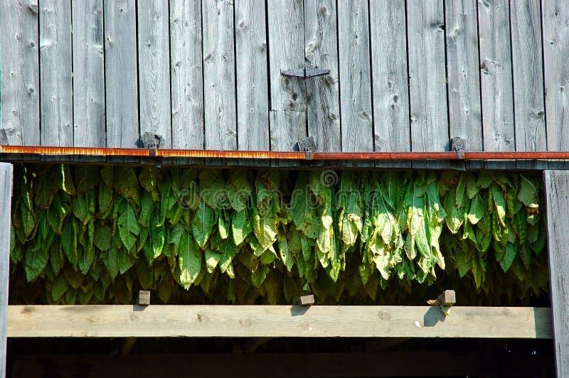 Tobacco Plants stock photos