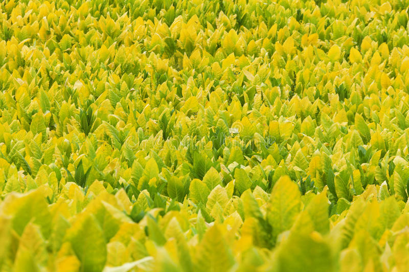 Download Tobacco plants stock image. Image of outdoors, crop, leaves - 24000313