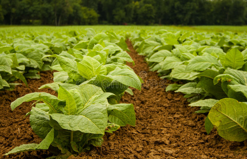 Download Tobacco plants front focus stock image. Image of rural - 83706321