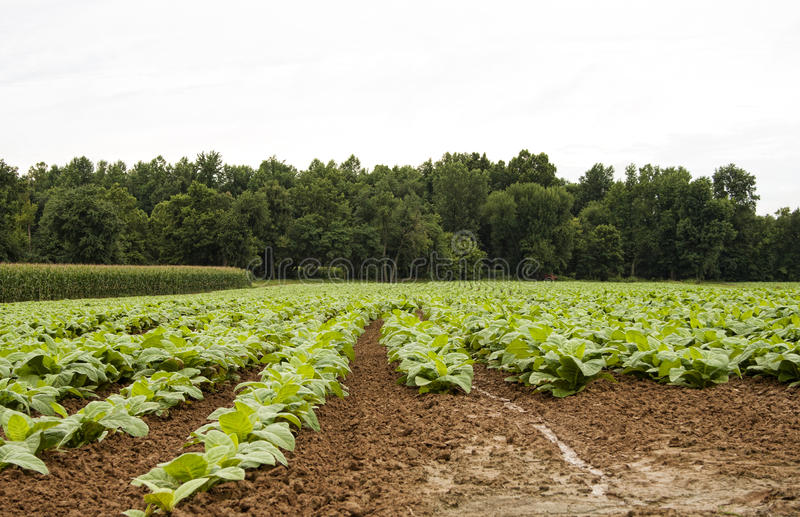 Download Tobacco rows horizontal stock image. Image of plant, growing - 83708669