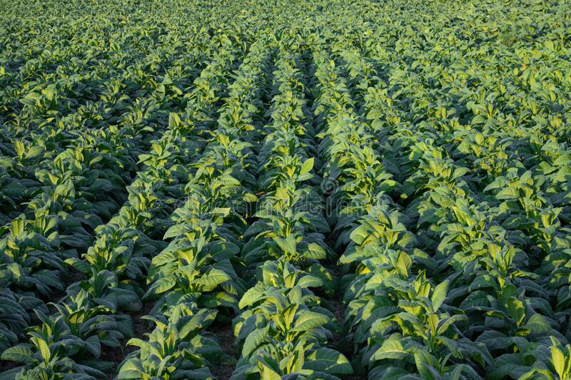 [Tobacco Thailand] View young green acco plant in field at Nongkhai of Thailand royaltyfria bilder