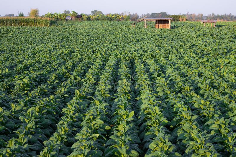 [Tobacco Thailand] View of young green tobacco plant in field at Nongkhai of Thailand.  royalty free stock photography