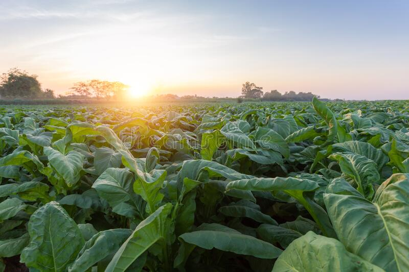 [Tobacco Thailand] View of young green tobacco plant in field at Nongkhai of Thailand.  stock images