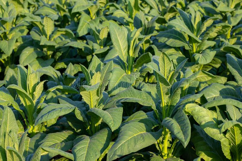 [Tobacco Thailand] View of young green tobacco plant in field at Nongkhai of Thailand.  royalty free stock image