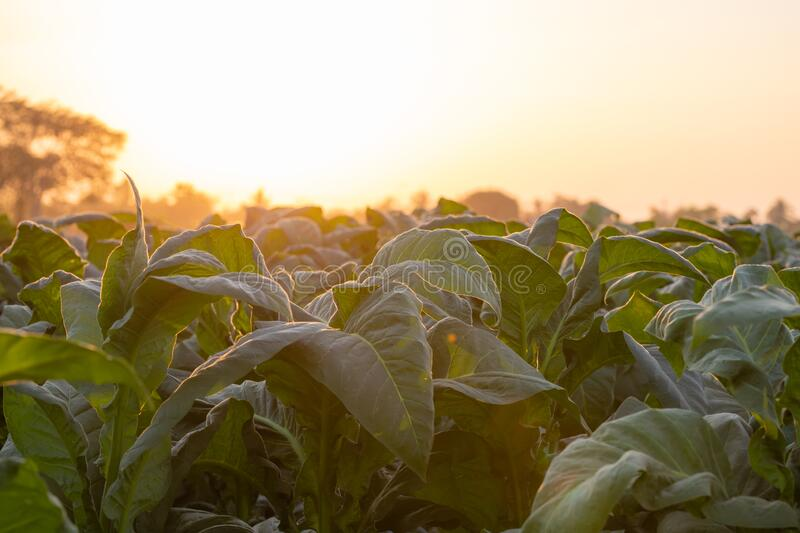 [Tobacco Thailand] View of young green tobacco plant in field at Nongkhai of Thailand.  royalty free stock photos
