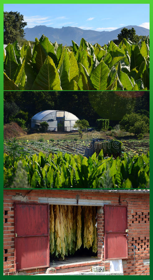 Download Tobacco Traditional Elaboration Stock Photo - Image: 26415414