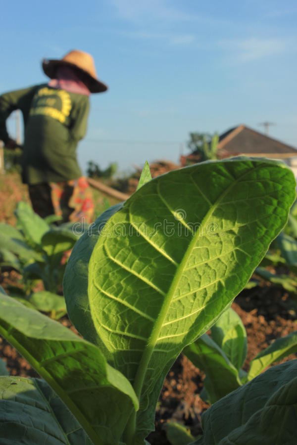 Tobakbönder royaltyfria bilder