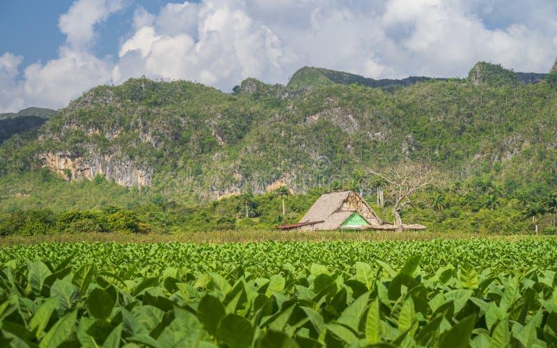 Tobakfält i den Vinales nationalparken, UNESCO, Pinar del Rio Province, Kuba arkivfoto