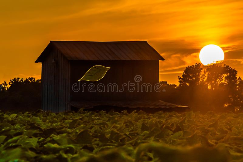 Tobakladugård på solnedgången arkivbilder