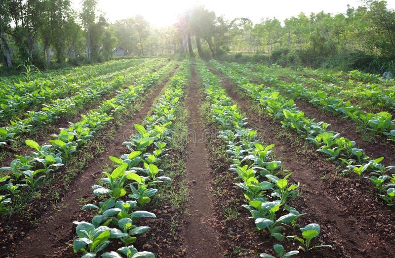 Tobaklantgårdfält arkivbild