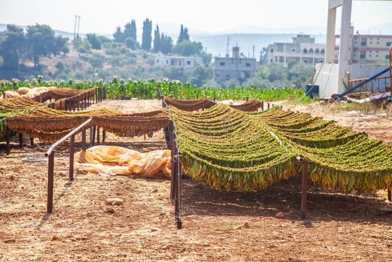 Tobaksväxter som torkar jordbruksmark fotografering för bildbyråer