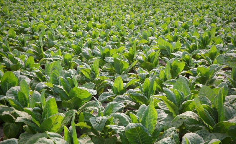 Tobakväxt i fält royaltyfri fotografi