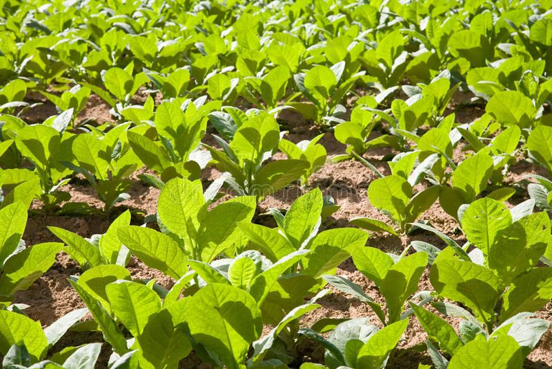 Tobakväxter royaltyfri foto