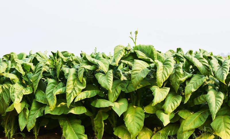 Tobakväxter i fält arkivfoton