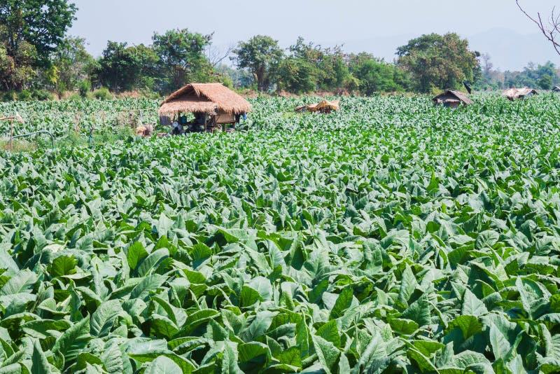 Tobakväxter på fält royaltyfri fotografi