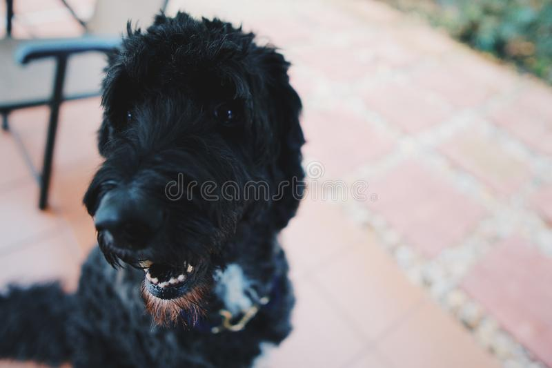 Toby royalty free stock photography