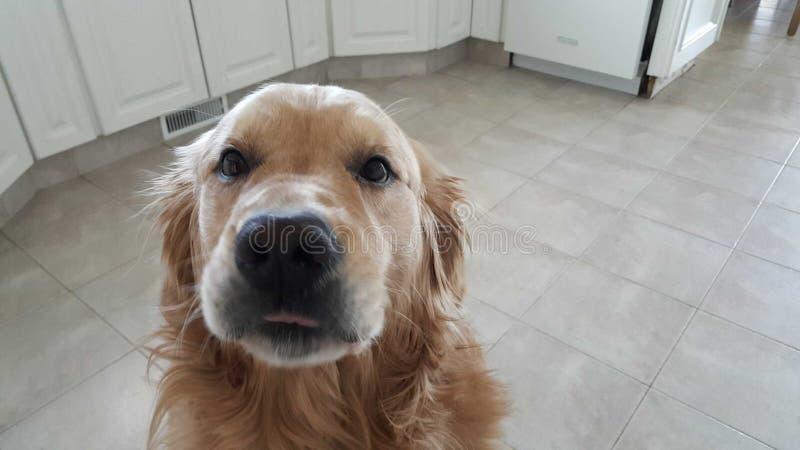 Toby le chien d'arrêt photos libres de droits