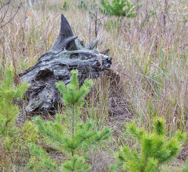 Tocón chamuscado en el bosque, Ucrania imagen de archivo