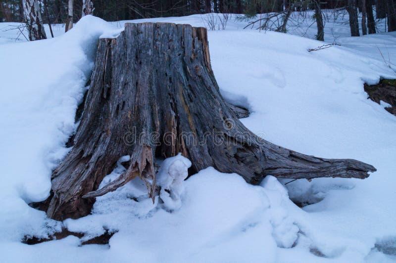 Tocón de árbol fotografía de archivo libre de regalías