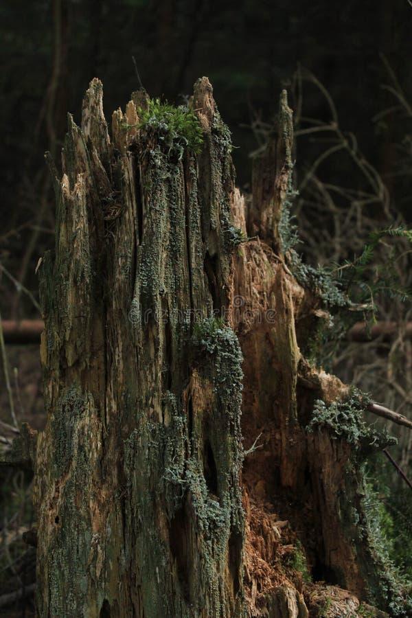 Tocón de árbol de la descomposición en el bosque, madera muerta, biología, putrefacta imagen de archivo libre de regalías
