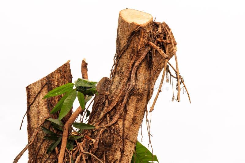 Download Tocón de árbol de mango foto de archivo. Imagen de parque - 42441298